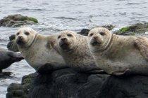 Seals at Kildonan