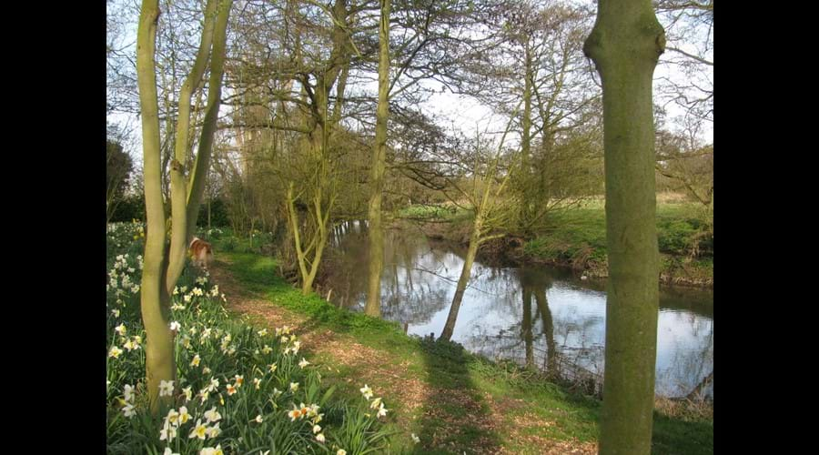 daffodils down by the river