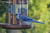 Blue Jay- one of the many species of birds that drop by the feeders. This is a great place to practice taking photos of birds with your camera.