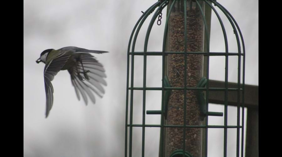 Great Tit visiting the feeders