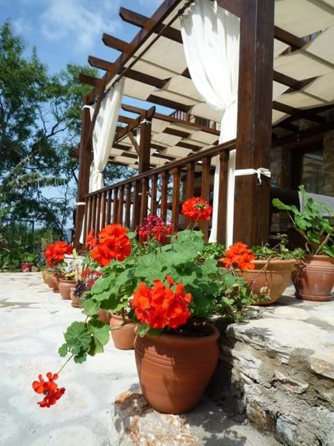 Beautiful flowering Sardunya (Geranium)