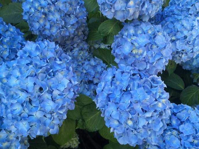 Beautiful blue hortensia  or hydranger
