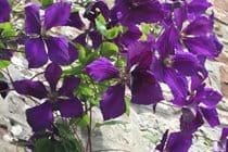 Clemetis in full bloom