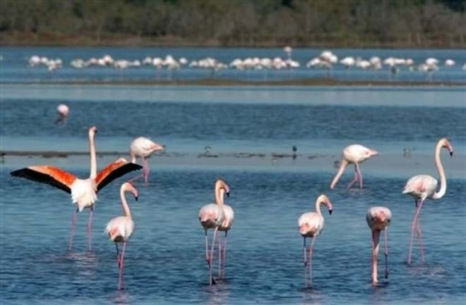 Flamingoes in the Carmargue