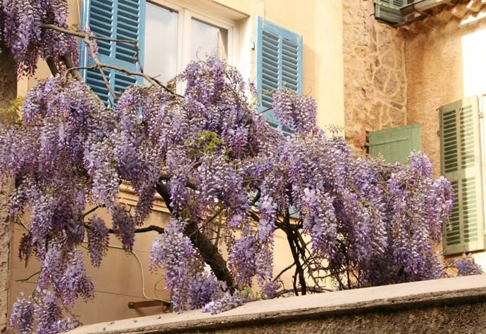 Wysteria in the centre of the village