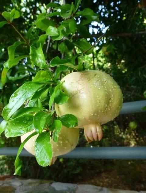 Lovely pomegranate (nar) fruit in the garden