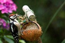Woodpecker another regular visitor - P Davidson