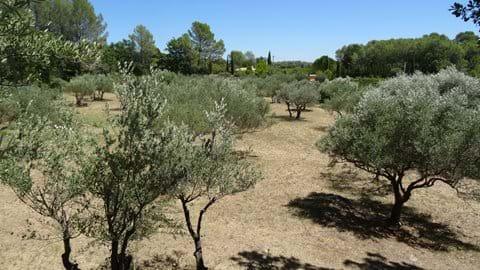 The olive grove.. again