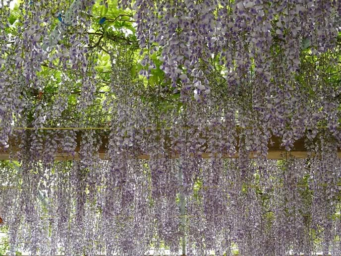 April 2016 - The wisteria looked gorgeous for us, but with nobody else here to enjoy it we think that in future years we will prevent it from wasting so much of its strength on this display of lingerie in the hope that it will grow and provide more shade.