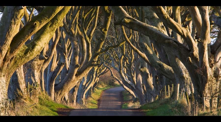 The spooky sculptural form of the Dark Hedges (The Kings Road to Game of Thrones fans) are a 20 minute drive from Crayfish Cottage