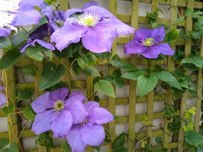 Clematis on Terrace, Summer 2019