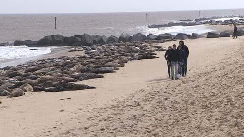 Horsey seals, around 8 miles drive away