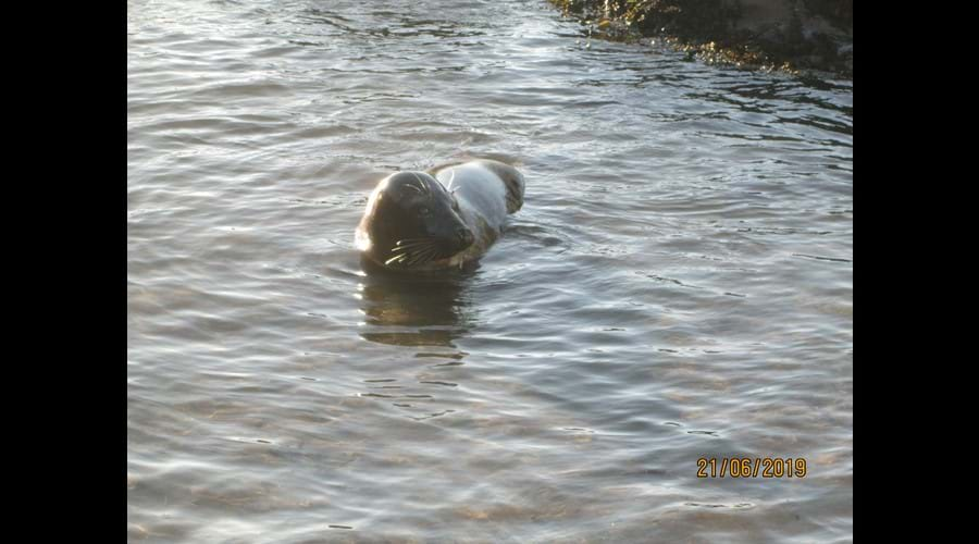 Seal in Combe Martin
