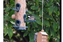 Great and blue tits on feeders