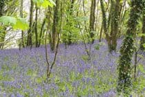 Bluebells in our woods