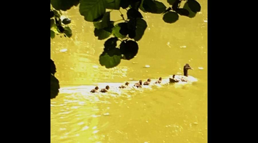 Baby Ducklings in Lake