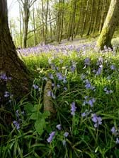 The bluebell wood in April