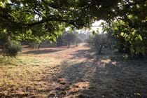Morning summer sun on the olive grove