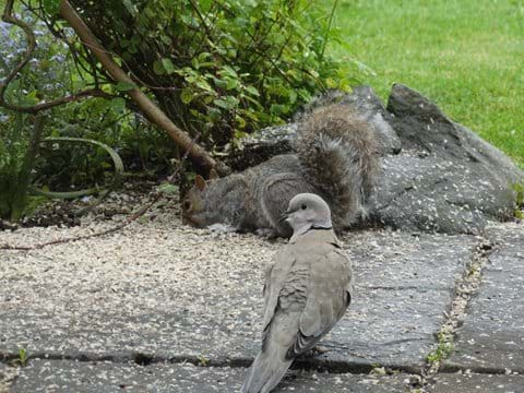Squirrel and Collared dove sharing the fallen seed