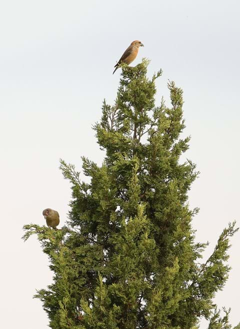 Crossbills - Photo taken from the terrace of El Parral in September.