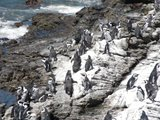 Penguin colony at Betty`s Bay