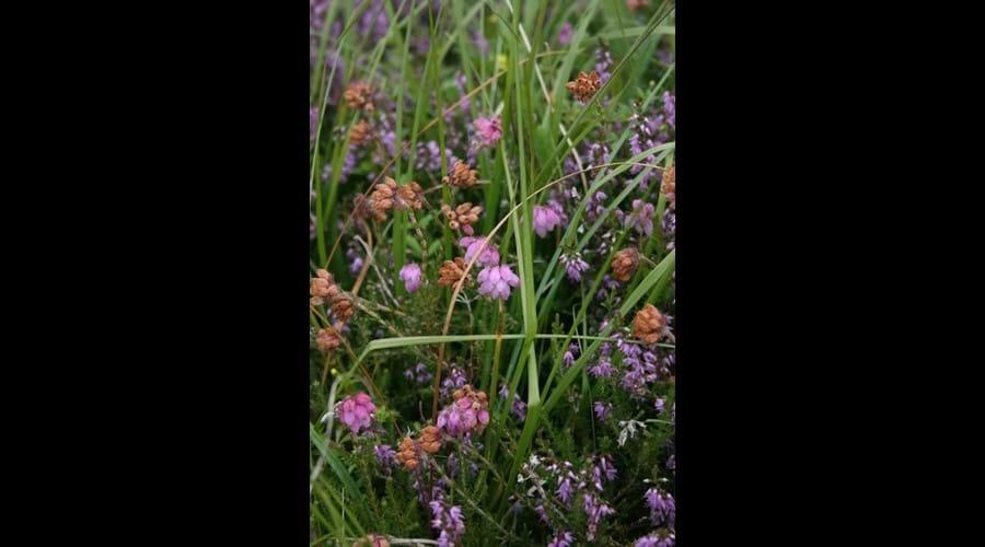 Wild flowers, Bernera