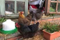 Presenting Gracie, Mavis and Mabel the free ranging hens who provide the eggs for the welcome basket
