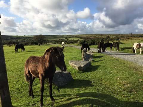 Ponies roaming free on Bodmin Moor