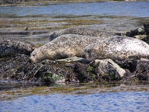 seals are often seen hauled out at nearby Delnies, or will swim alongside as you walk along the path