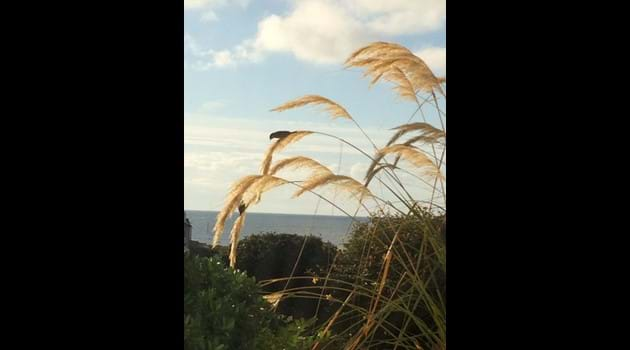 Sparrows balancing on the pampas in Chapel Bay Lodge's garden