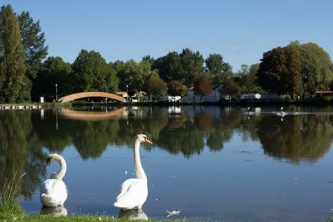 Swans at the Plan D'eau - St Jean D'Angeley
