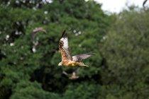 Red Kite not to far away- P Davidson