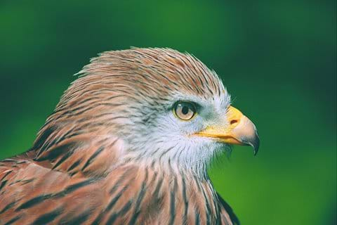 Our famous Red Kite