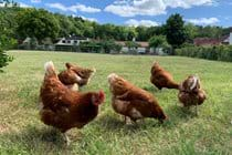 Our Oxfordshire brown hens