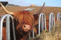 Highland cow enjoying lunch