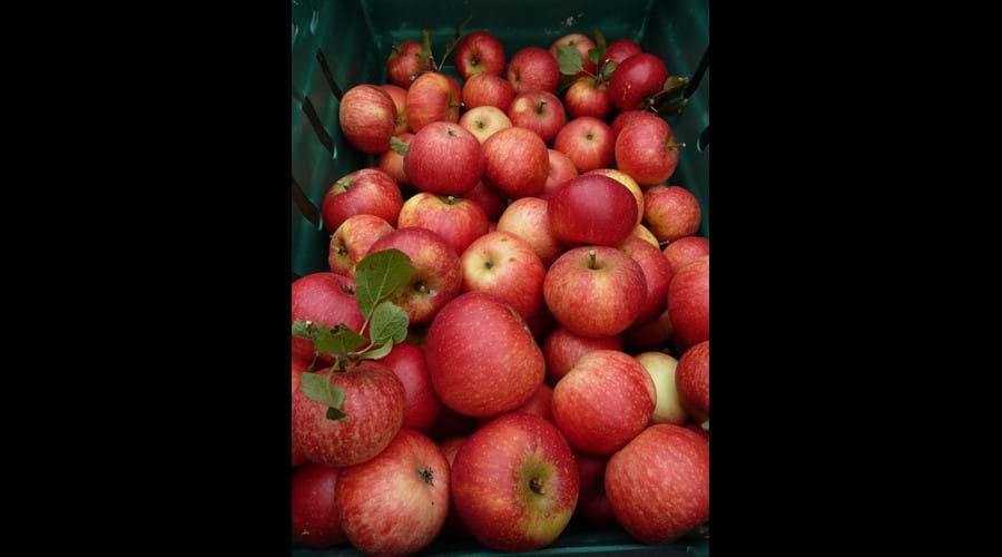 Smeale Farm Discovery apples.