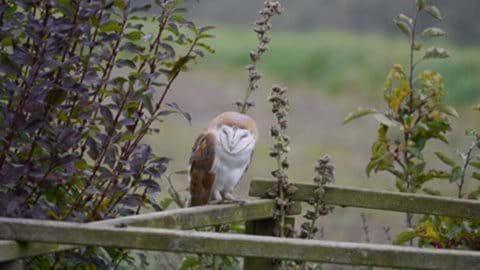 Barn Owl in Garden