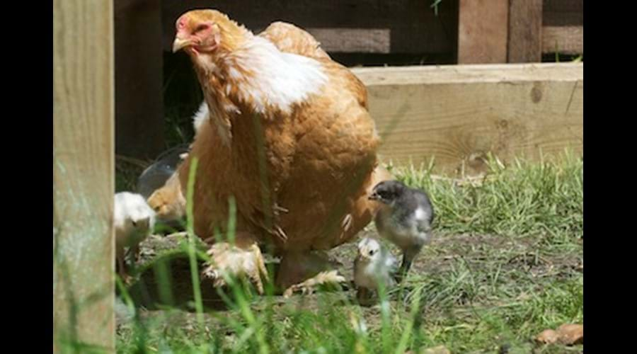 The owners keep some animals - you may be lucky enough to see chicks.