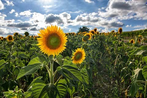 Surrounding fields of Sunflowers