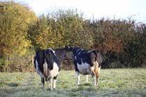 Cows grazing in field beside cottage
