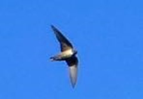 Crag martins visit often but are too fast to be photographed!