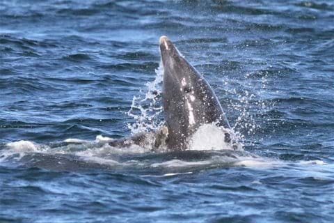 bottlenose dolphin in the Moray Firth,