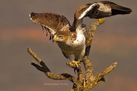 Eagle in Monchique