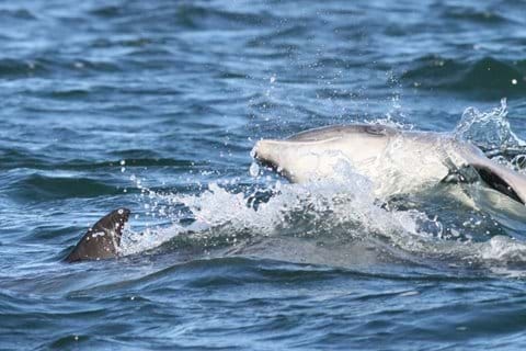Dolphins are very social animals often playing within their pod