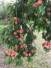 Peach Trees in the Grounds