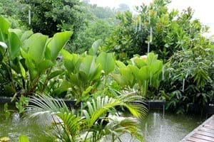 The small fish pond during a refreshing tropical shower