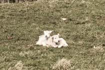 During lambing in spring, lambs and thier mothers are often in the field behind the cottage