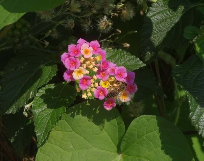 Oct 2015 - The lantana flower, also known as