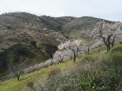 Almond blossom early Spring