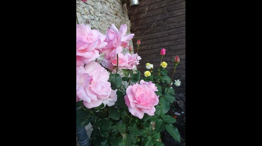 Scented Roses next to Spa